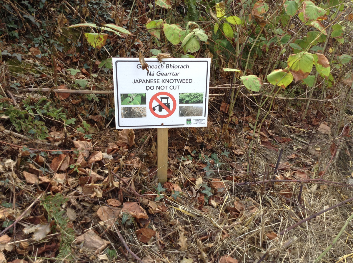Roadside Hedgecutting can cause the rapid spread of Knotweed